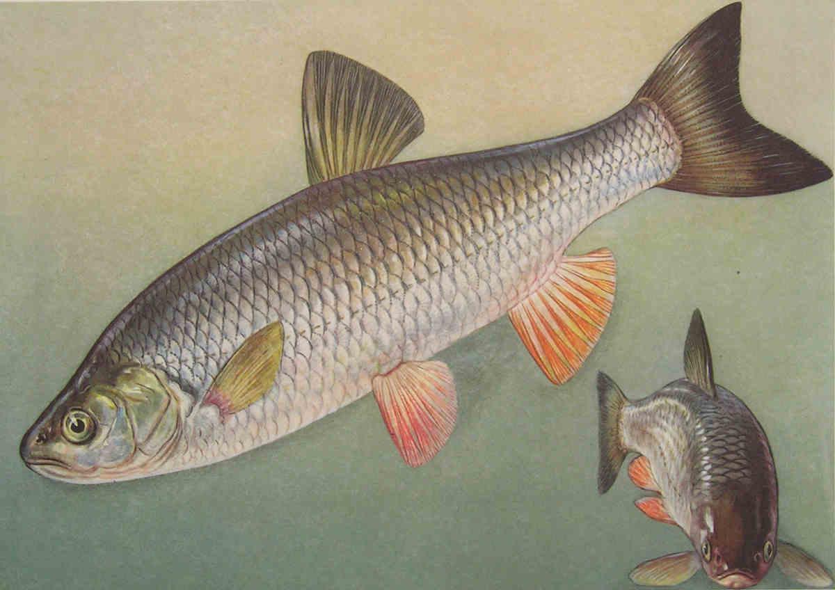 рыбы оки фото и названия